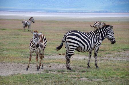 Zebras in the Ngorongoro crater in Tanzania