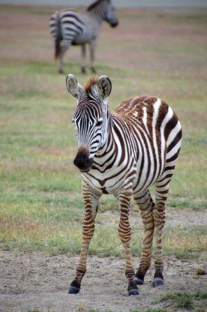 Zebra in the Ngorongoro crater in Tanzania