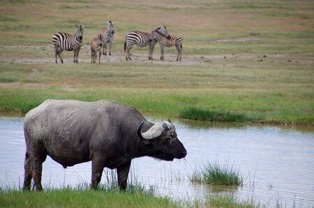 Buffalo in the Ngorongoro crater in Tanzania Stock Photo