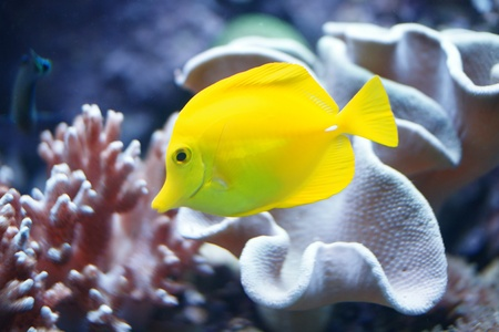 fresh water aquarium fish: Yellow tropical fish Stock Photo