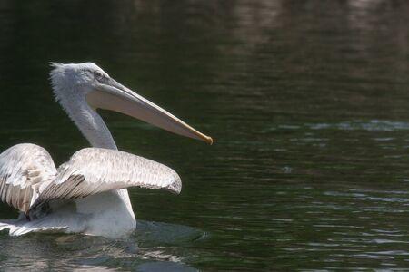 Pelican Stock Photo - 13637036