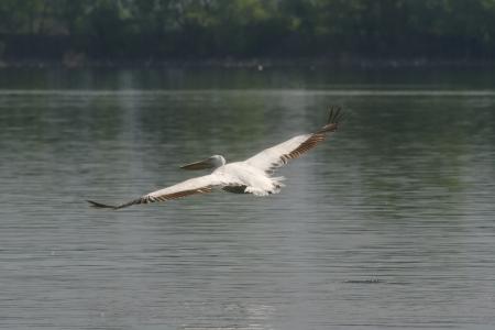 Pelican on flight Stock Photo - 13637032