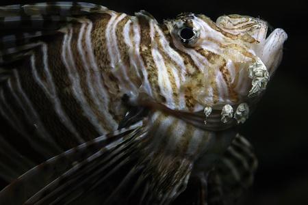 pterois: Pterois Antennata, the lionfish Stock Photo