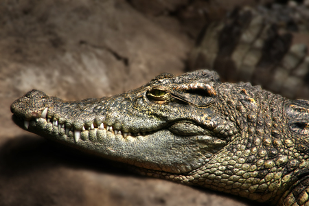 captivation: Portrait of a crocodile, one of the most dangerous hunters captivated in a zoo Stock Photo