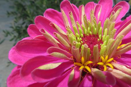 Macro shot of a beautiful blossomed pink Zinnia flower in a home garden Stok Fotoğraf