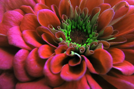Macro shot of a beautiful blossomed red Zinnia flower in a home garden