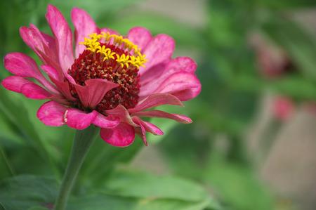 A beautiful blossomed pink Zinnia flower in a home garden