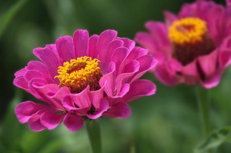 Beautiful blossomed pink Zinnia flowers in a home garden Stok Fotoğraf