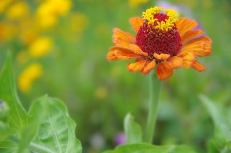 A beautiful blossomed orange Zinnia flower in a home garden