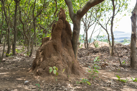 A tall termite hill formed against a tree trunk near a city