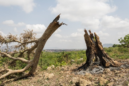 Depressing sight of a felled tree by burning.