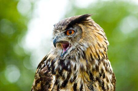 portrait of an owl head Stock Photo - 6434606
