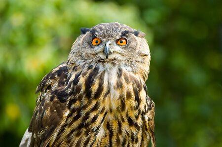 portrait of an owl head Stock Photo - 6434682