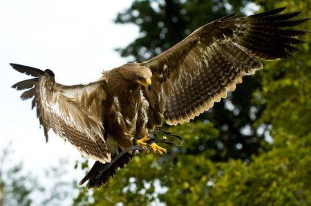 stone eagle hunts its prey Stock Photo