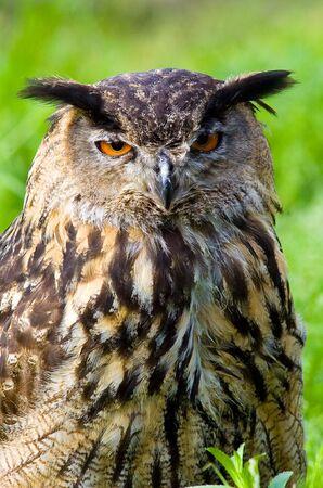 portrait of an owl head Stock Photo - 6434610