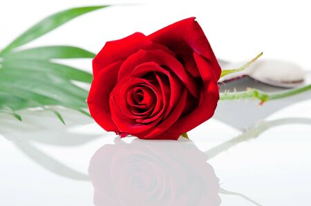Red rose on a white background with shallow photo