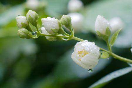 Flowers of jasmin after fresh rain