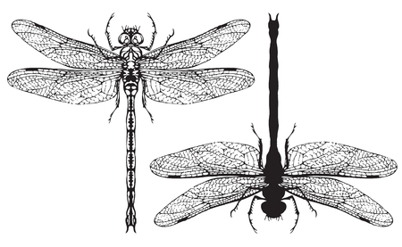 Two black and white vector realistic dragonflys close up top view isolated on white background