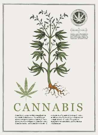 Handgezeichnete botanische Vektorillustration im Retro-Stil mit Cannabispflanze. Seite eines alten Buches. Hanf, Cannabis oder Marihuana, Heilpflanze