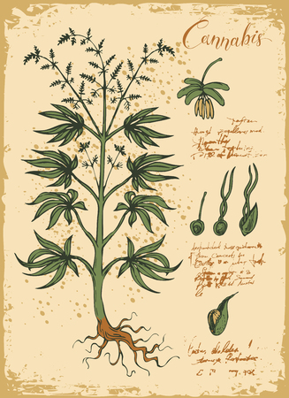 Hand-drawn Botanical vector illustration in retro style with cannabis plant. Page of an old book. Hemp, Cannabis or marijuana, medicinal plant
