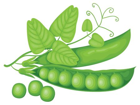Vector illustration with realistic green pea pods, tendrils and leaves isolated on white background. Fresh vegetables or food icon