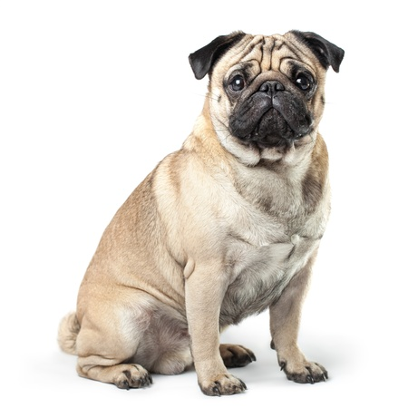 animal shadow: Sitting Pug isolated on White Background with soft shadow