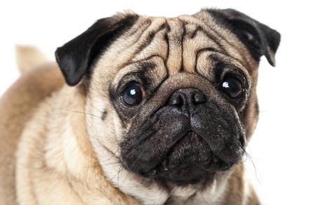 Portrait of Pug photo
