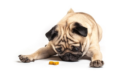 pug dog: Lying Pug with treat, isolated on White Background  Focus on eyes Stock Photo
