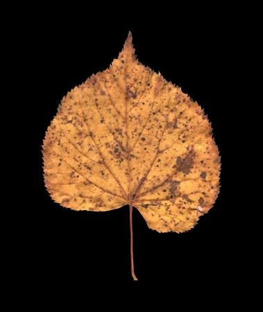 basswood: Dry lime tree tilia, linen, basswood leaf