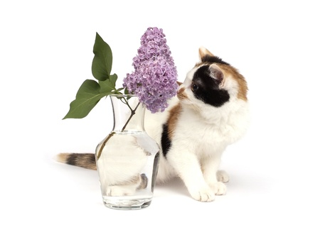 tricolor kitten and lilac branch isolated on white