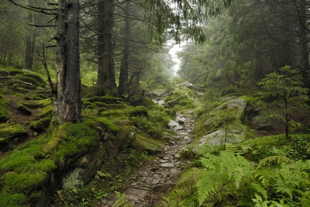 track in wilde forest in Carpathians Stock Photo