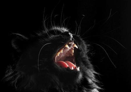 black persian cat on black background photo