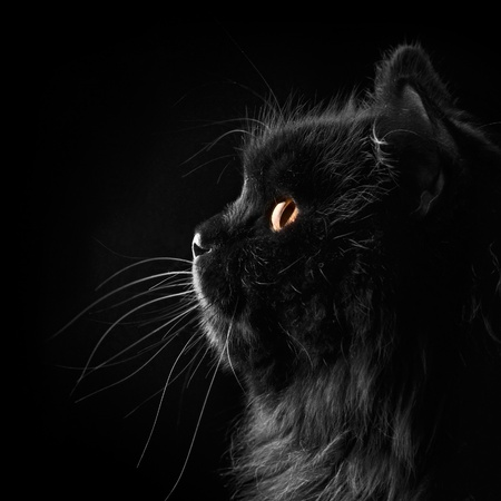 black persian cat on black background