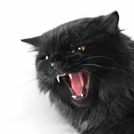 angry black persian cat on white background photo