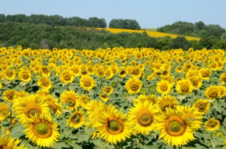 sunflowers on the field on a summer morning Stock Photo