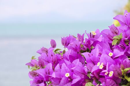 close up blooming Bougainvillea in Thailand Stock Photo