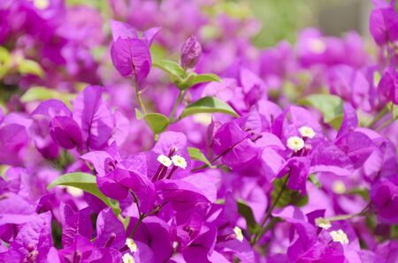 close up blooming Bougainvillea in Thailand photo