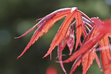 acer palmatum: close up young red leaves of Acer palmatum Inabashidare
