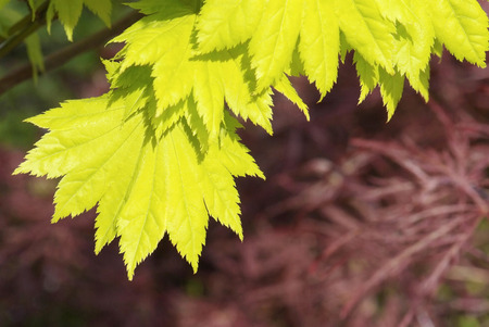 acer: close up young yellow leaves of Acer japonicum aureum Stock Photo