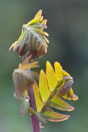 young leaf: close up young leaf of fern Osmunda regalis Stock Photo