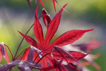 acer: close up young red leaves of maple Acer palmatum