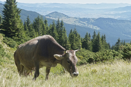 mountain scenery with cow in Carpathians