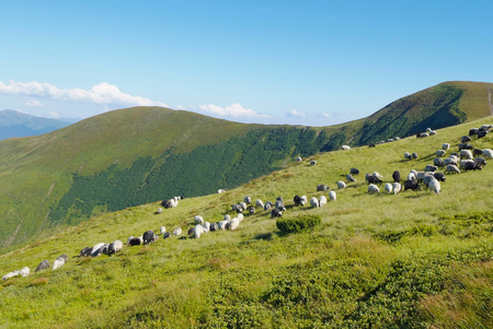 mountain scenery with sheeps in Carpathians