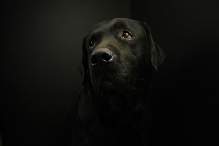 black labrador: labrador on black background, looking up.