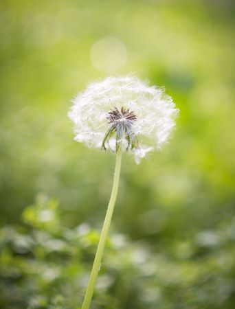 Dandelion on green background. photo
