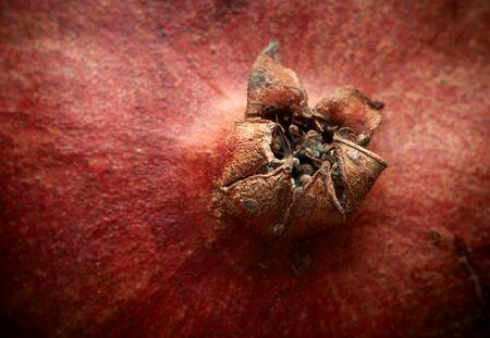 sepals: Pomegranate sepals crown shaped, macro, closeup. Stock Photo