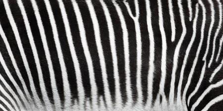 Zebra stripes closeup. photo