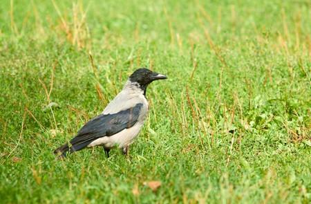 Jackdaw  (Corvus monedula). Walking on green meadow. Stock Photo - 7740212