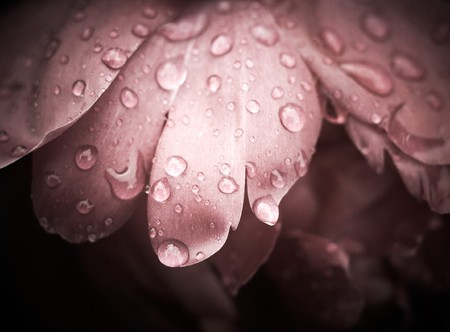 feel feeling: Rose With Dew Drops. Vintage Background.