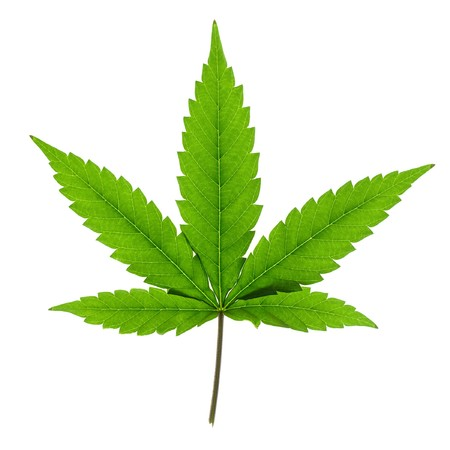 Cannabis leaf isolated on white background. photo
